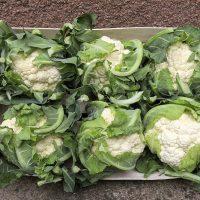 Cauliflower caulia