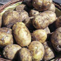 Potatoes premiere